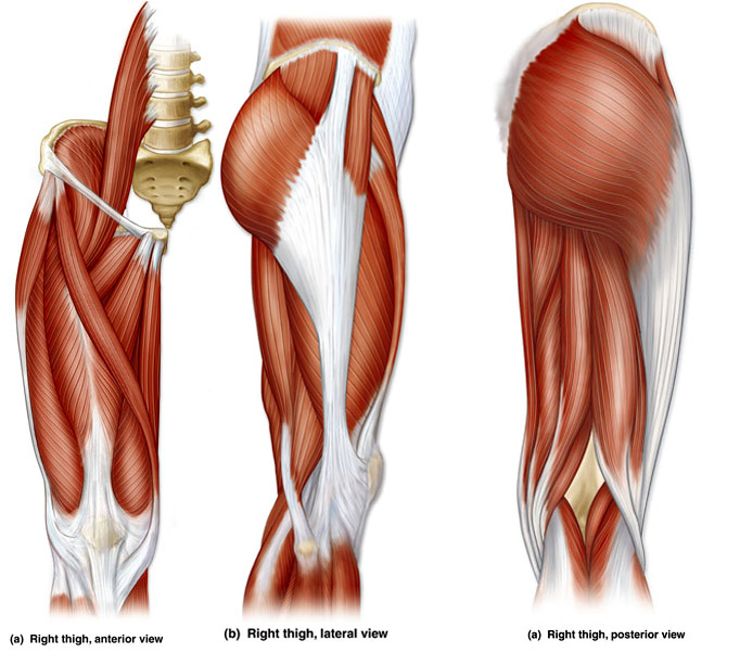 Leg Muscles Diagram Without Names - Trusted Wiring Diagram •