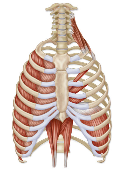 Barbeau Human Anatomy Lecture 205supplements Muscular System