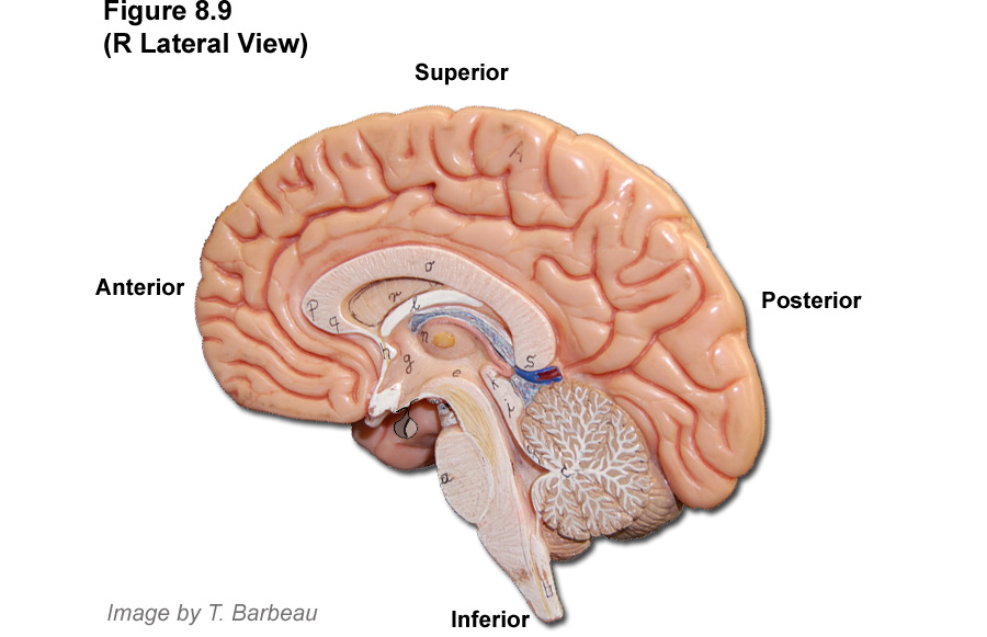 Diencephalon diagram unlabeled application wiring diagram barbeau human anatomy lecture 205 supplements nervous system rh people fmarion edu diencephalon unlabelled brain stem diencephalon ccuart Images