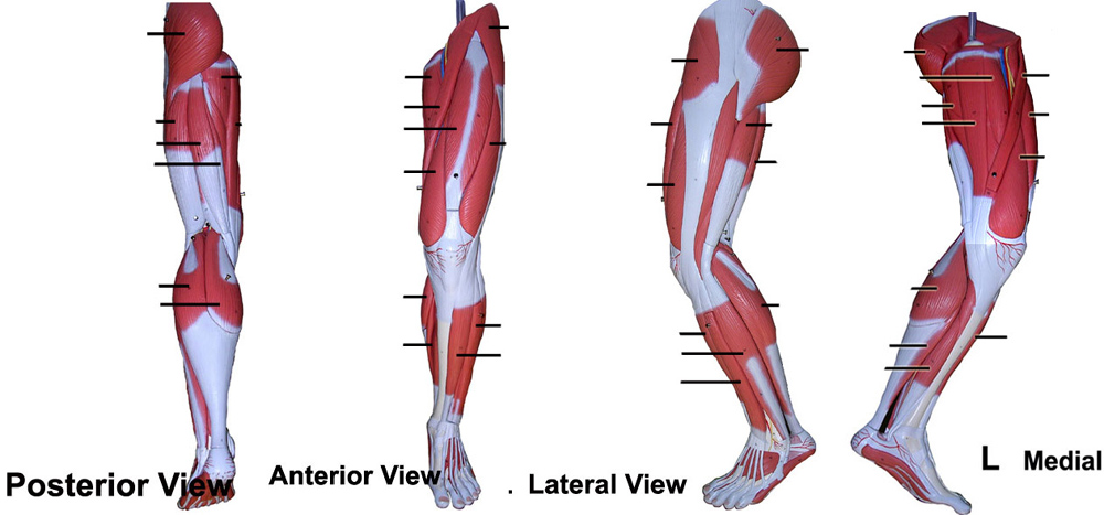 Human Leg Muscle Diagram