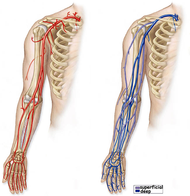Luxury Arterial Anatomy Of The Arm Composition - Anatomy And ...